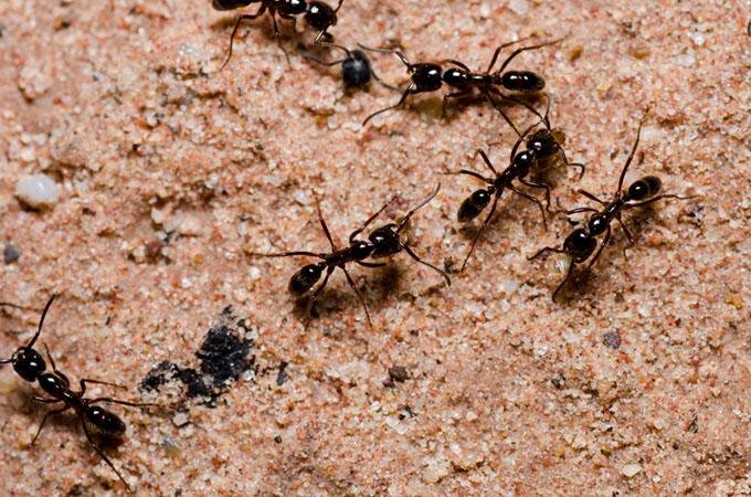 Orientación de las hormigas es más avanzada de lo que se pensaba