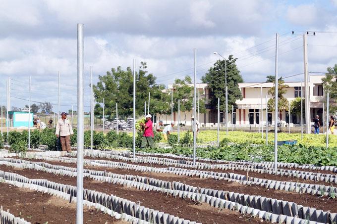 Consolida su producción organopónico Cinco Palmas, de Bayamo