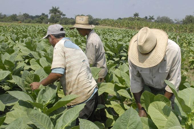 Granma  excede  siembra de tabaco en campaña 2016-2017