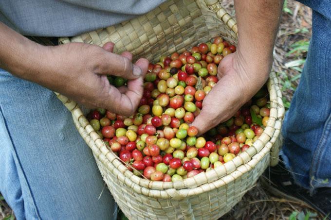 Mejoran calidad de cosechas de café en serranía de Granma