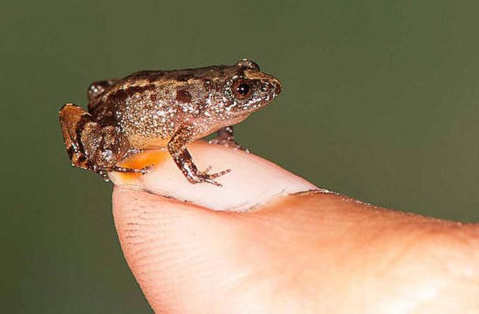 Descubren en la India cuatro nuevas especies de rana