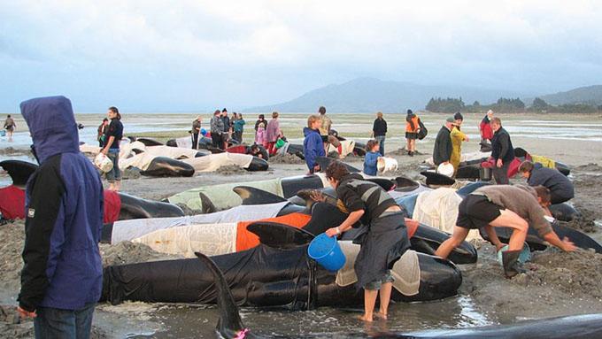 Rescatan ballenas varadas en playa de Nueva Zelanda