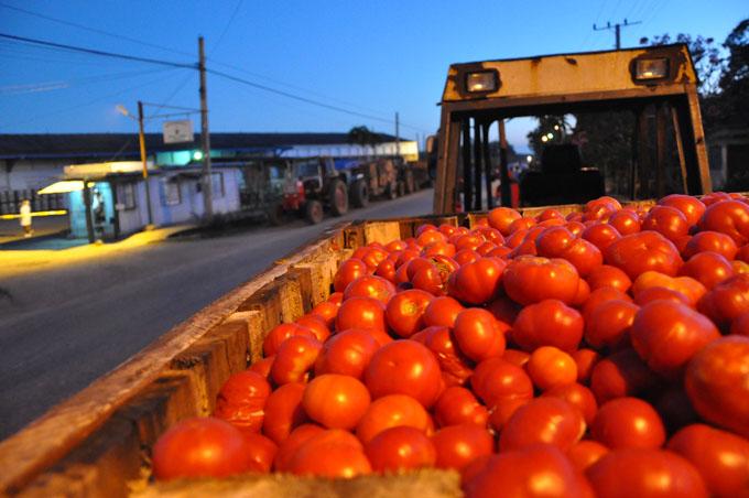 Avanza cosecha de tomate en Granma