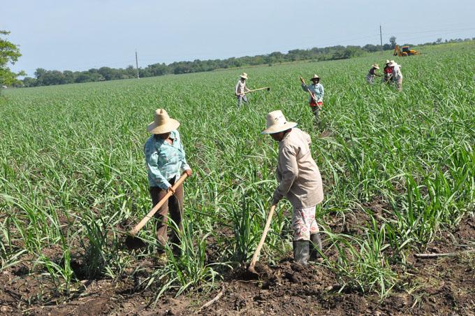 Trabajan agricultores para  exceder plan de siembra de caña