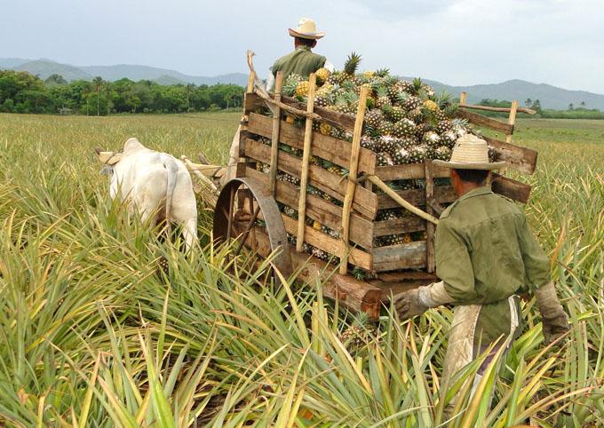 San Vicente logra mayor calidad en la  piña en Granma