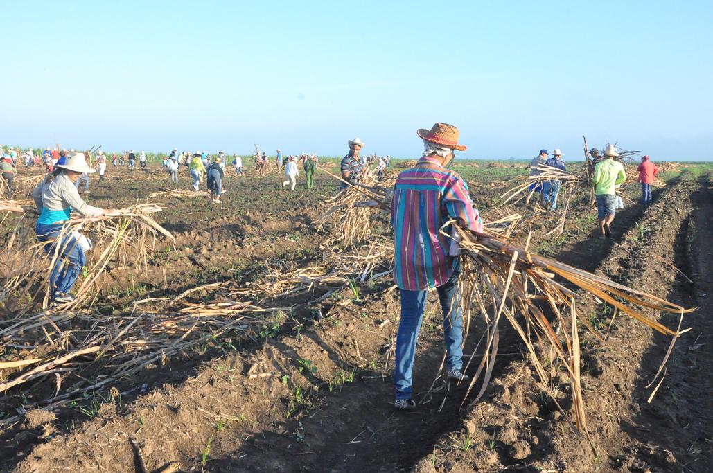 Escasez de semilla retrasará cumplimento de siembra de caña en Granma