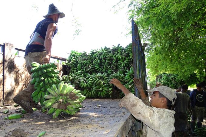 Trabajan para recuperar cultivo del plátano en Granma
