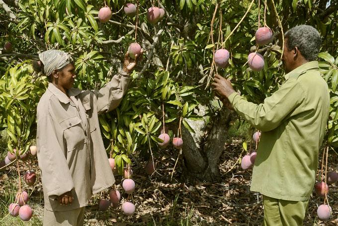 Buscan en Cuba incrementos en los rendimientos frutales