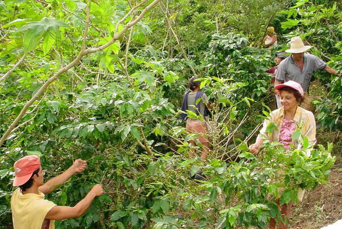 Aumentarán producción cafetalera en Granma