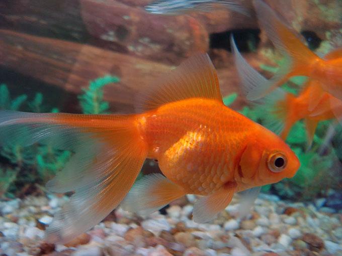 Descubren como el pez dorado sobrevive meses sin oxígeno