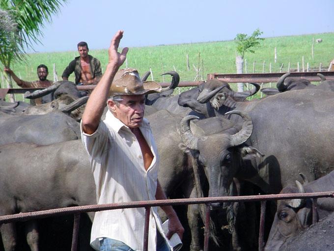 Redoblan esfuerzos en  la ganadería de Granma