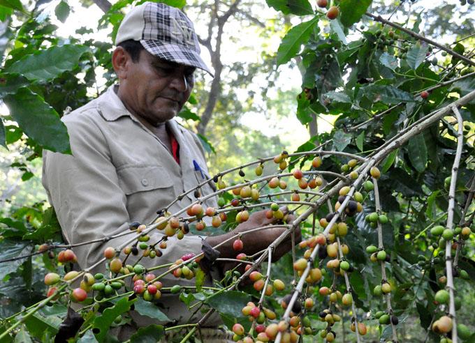 Aceleran cosechas agrícolas en Granma
