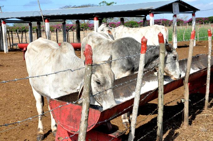 Protegen ganado en Granma ante amenaza de huracán Irma
