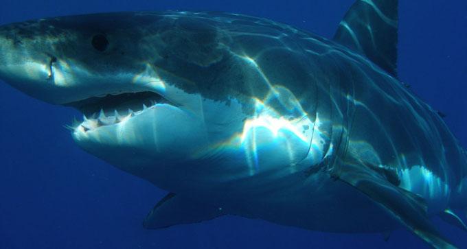 Estudio revela que tiburones y rayas viven más de lo estimado