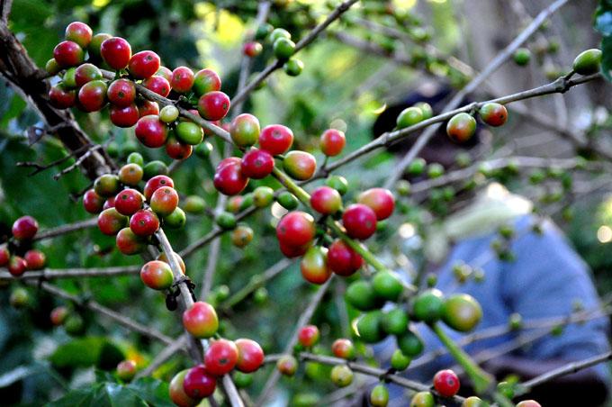 En Granma por continuar recogida de café tras paso de Irma