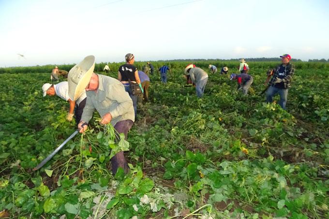 Multiplican viernes agropecuario en Granma