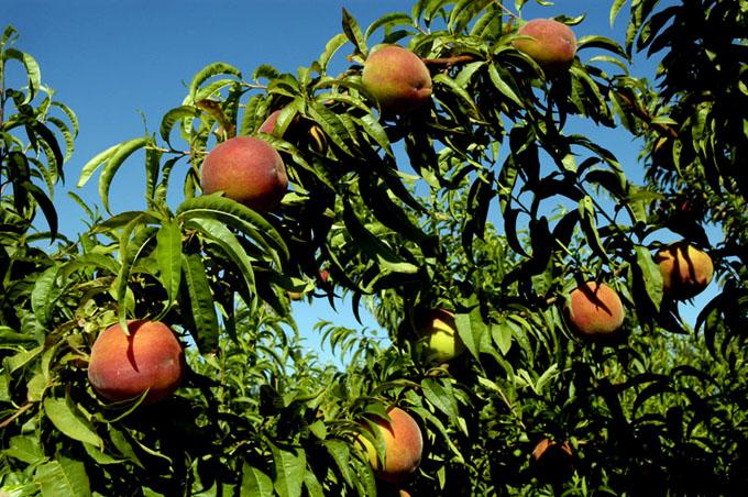 Proponen buenas prácticas del manejo agroecológico en Fruticultura