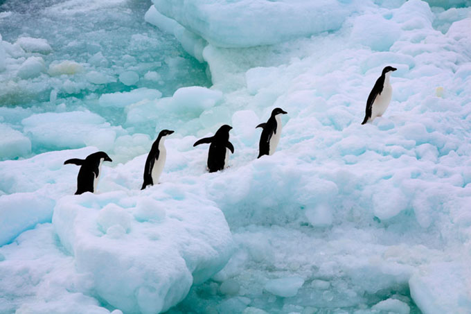 Alarma sobre mayor mortandad de pingüinos en Antártida chilena