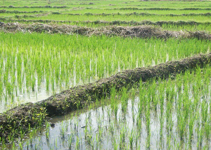 Granma se autoabastece de semillas en cultivo de arroz