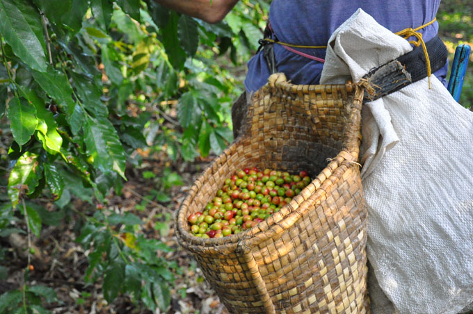 Activa participación estudiantil en tareas agrícolas en Granma