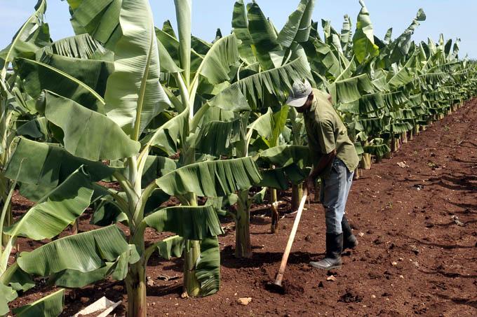 Campesinos manzanilleros por incrementar alimentos para el pueblo