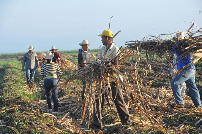 Cultivadores granmenses incrementarán siembra de caña