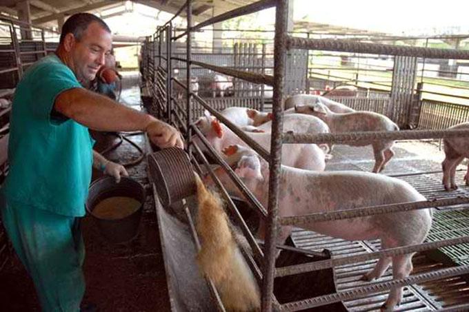 Abre sus puertas en Cuba III Feria Porcina