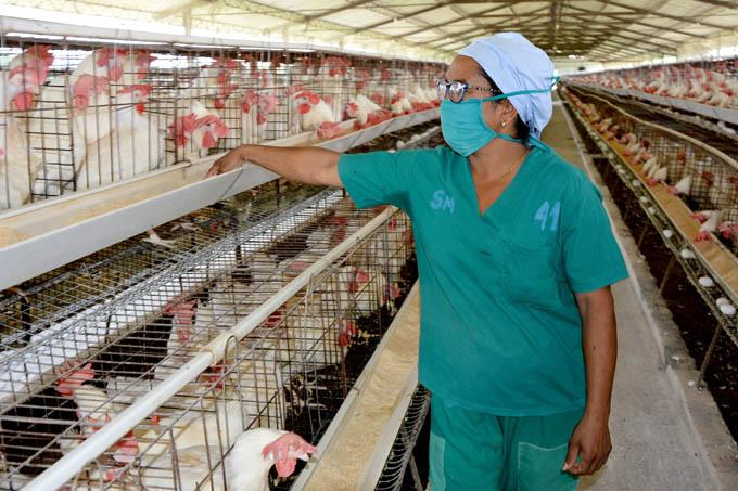 Crece producción avícola en Granma