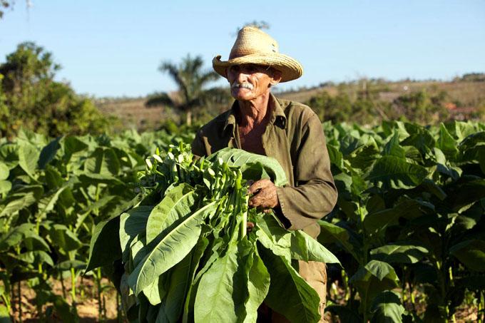Anfitriona hoy Las Tunas del acto nacional por Día del Tabacalero