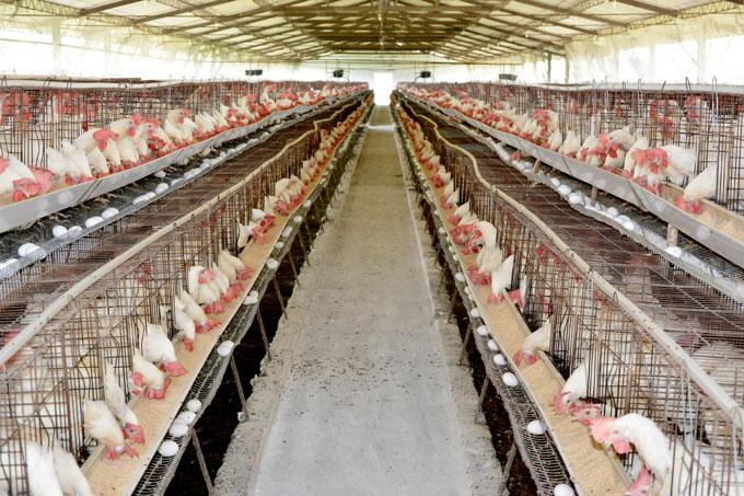 Garantizan  abastecimiento de huevos de gallina