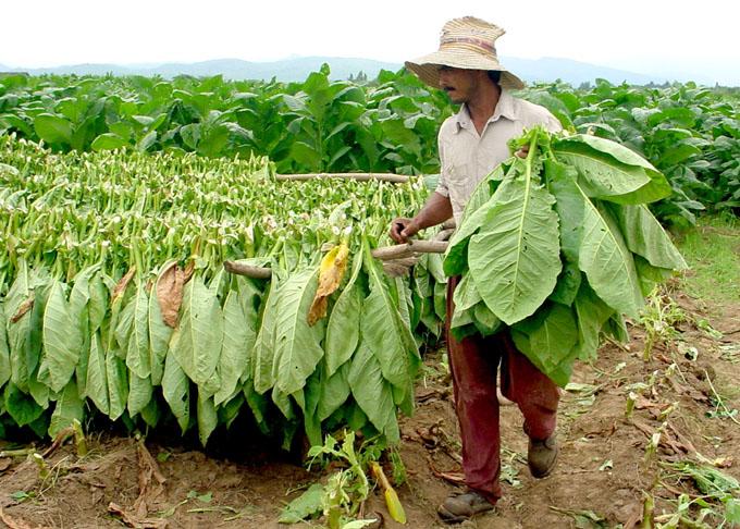 Comprometidos tabacaleros con el desarrollo de Granma