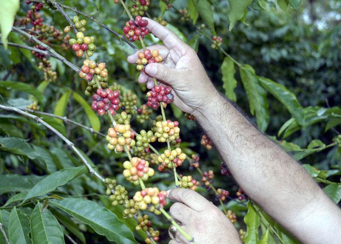 Acogerá Granma primer Festival Internacional de Café