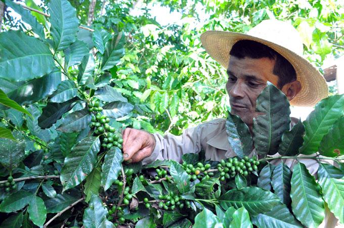 Inició cosecha cafetalera en Granma