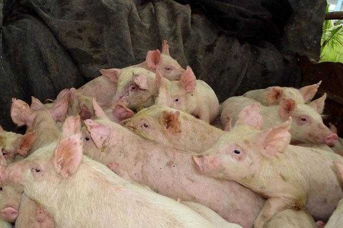 Granma va a cumplir sus producciones porcinas y de ganado menor