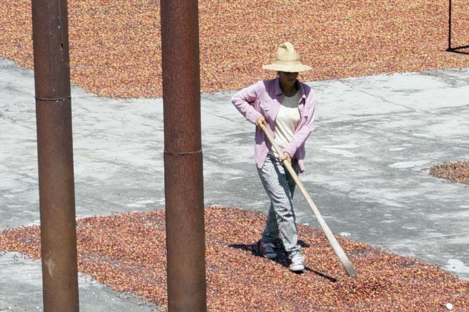 Buscan caficultores crecer con calidad en la cosecha