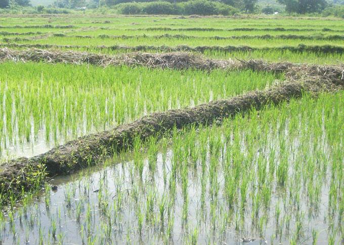 Sembrarán en Cuba más de 130 mil hectáreas de arroz en campaña de frío