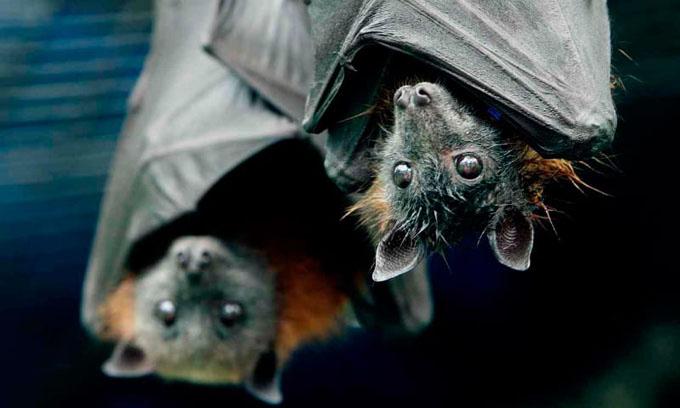 Descubren virus en murciélagos que podría ser letal en humanos