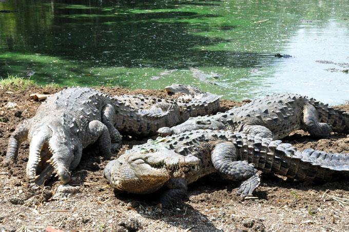 Destaca Zoocriadero de cocodrilos de Manzanillo entre los mejores de Cuba