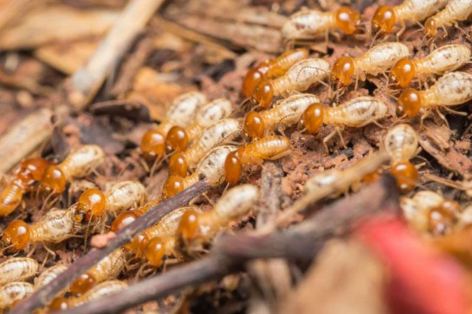 Las termitas mitigan los efectos de la sequía