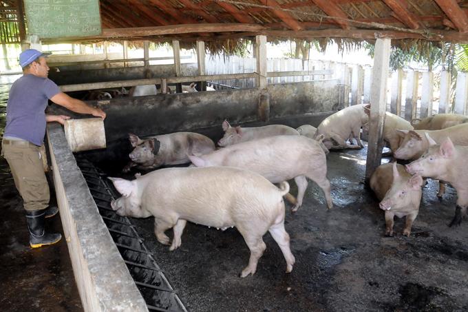 Alta la meta del programa porcino cubano