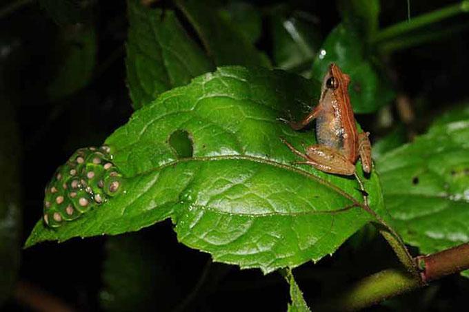 Descubren especie de rana en Etiopía