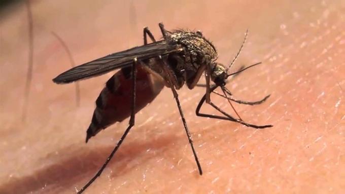Saliva de mosquitos pudiera ser clave para vacuna contra el Zika