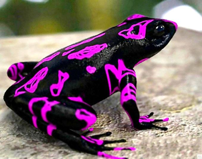Biólogos panameños encuentran extinta especie de rana (+fotos y video)