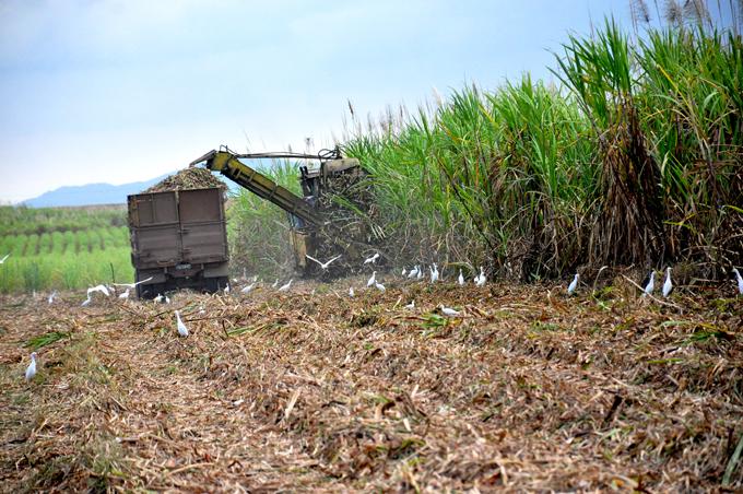 Replantear la vida azucarera (+fotos)