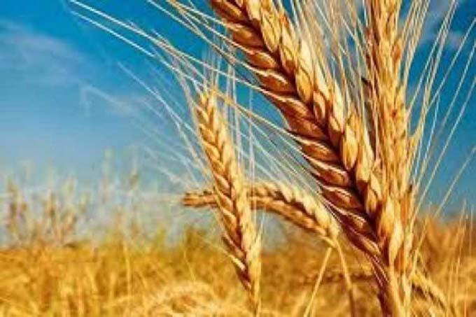 Presentarán en Bolivia cinco nuevas variedades de trigo