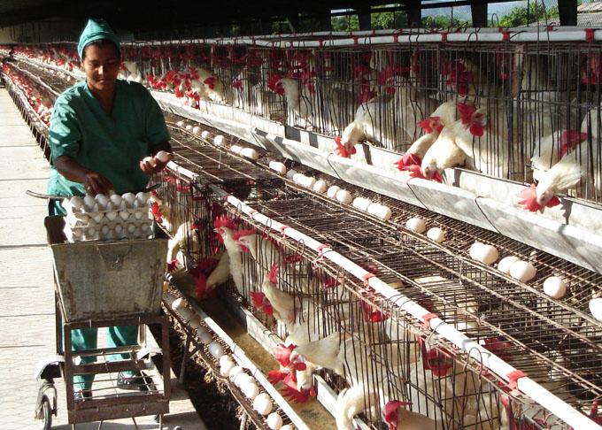Empresa avícola Granma: la más estable en producción de huevos de gallina