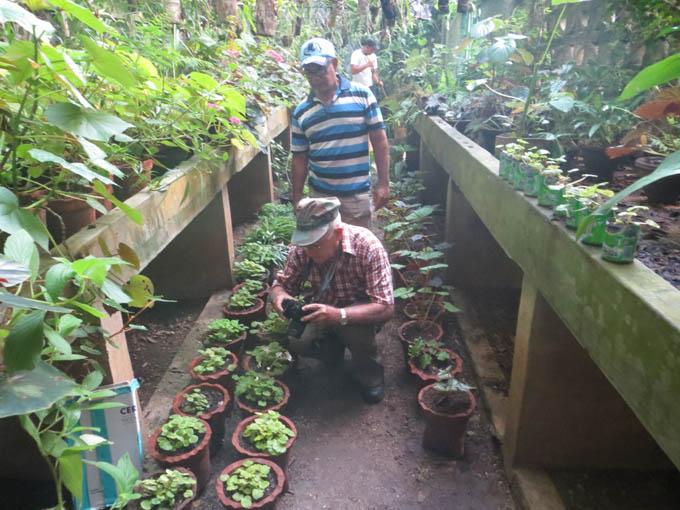 Botánico Cupaynicú reproduce con éxito begonia amenazada de Cuba