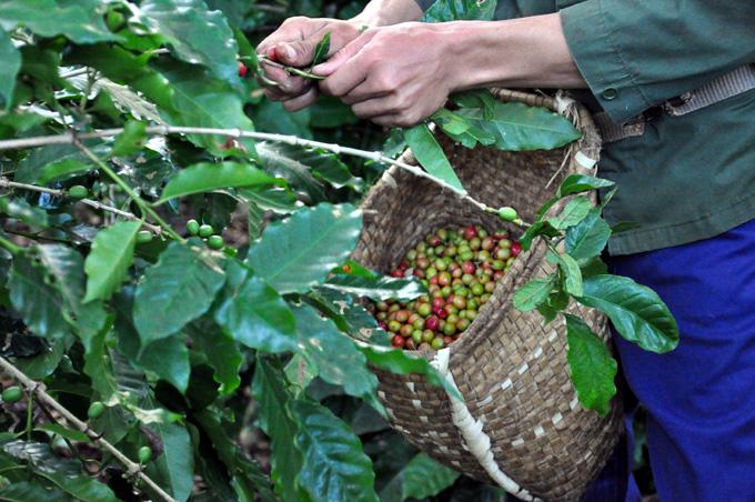 En marcha cosecha cafetalera