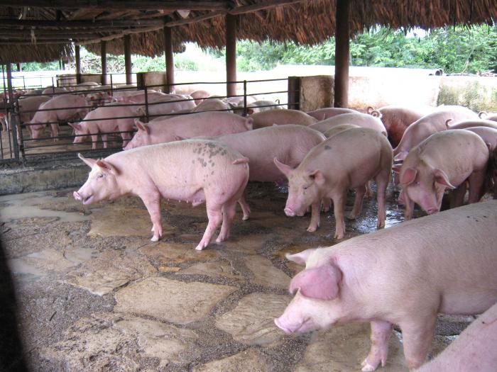 La ciencia aporta tecnología para sustituir importaciones en la alimentación porcin