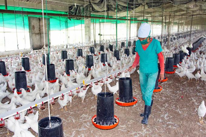 En manos de mujeres producción avícola